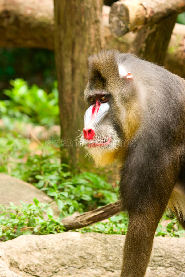 Download Mandrill Baboon stock image. Image of baboon, primate - 20810827