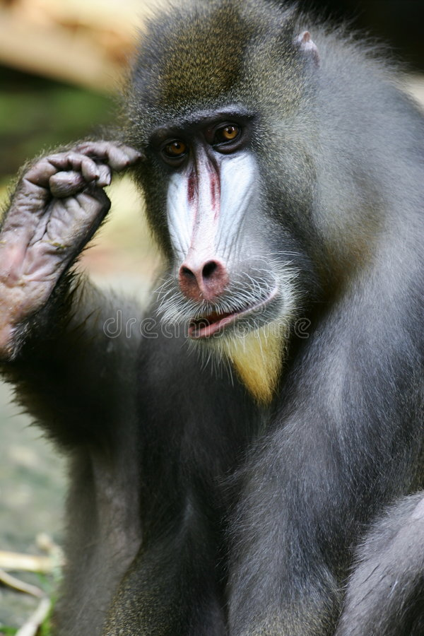 Mandrill Baboon Stock Photos
