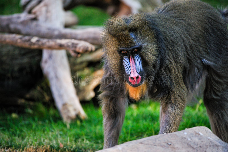 Download Mandrill Baboon stock photo. Image of animal, mammal, outside - 8408638