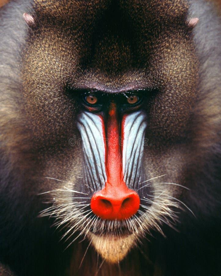 Mandrill. Baboon monkey africa Gabon muzzle head face look ape stock photo