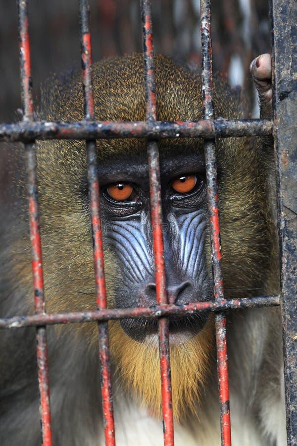 Mandrill in cage