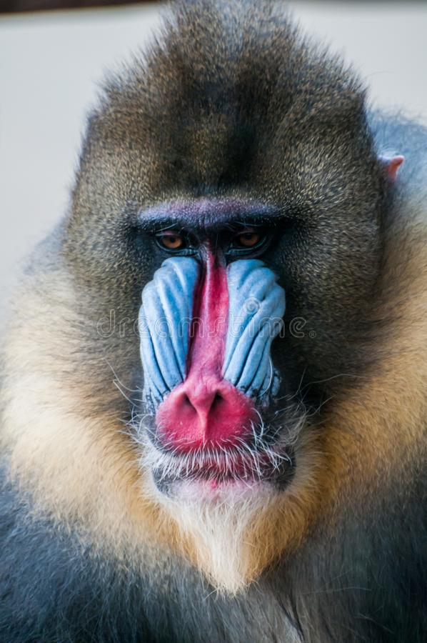 Mandrill face close up, mandrill face royalty free stock image