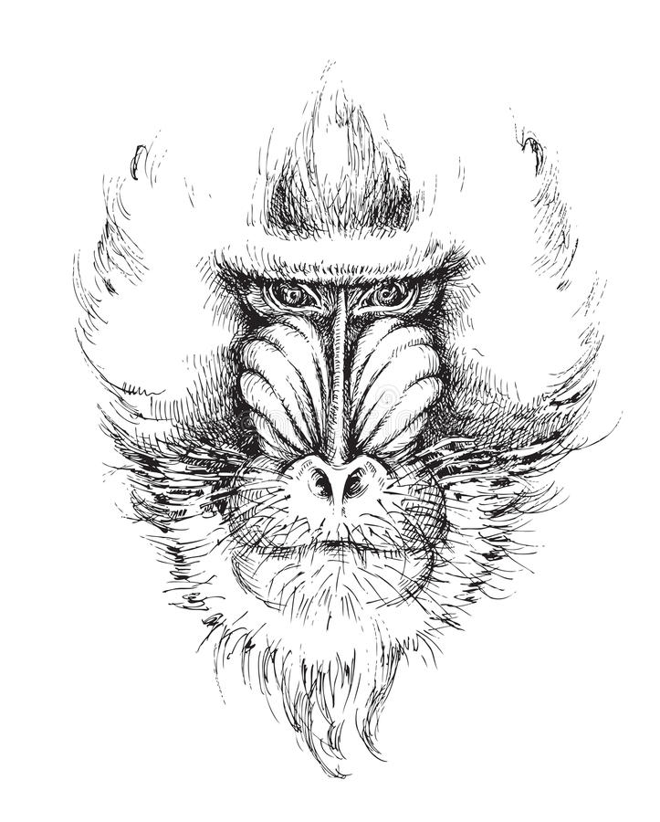 Mandrill, hand drawing vector illustration