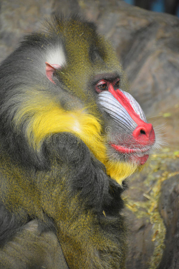 The mandrill. Mandrillus sphinx is a primate of the Old World monkey Cercopithecidae family royalty free stock photo