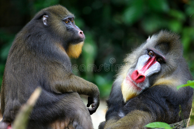 Mandrill Monkey stock images