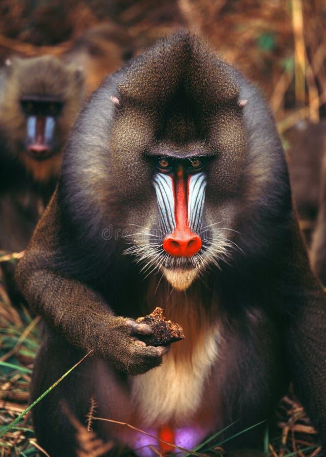 Mandrill. Monkey ape jungle africa gabon baboon herd food head royalty free stock photography