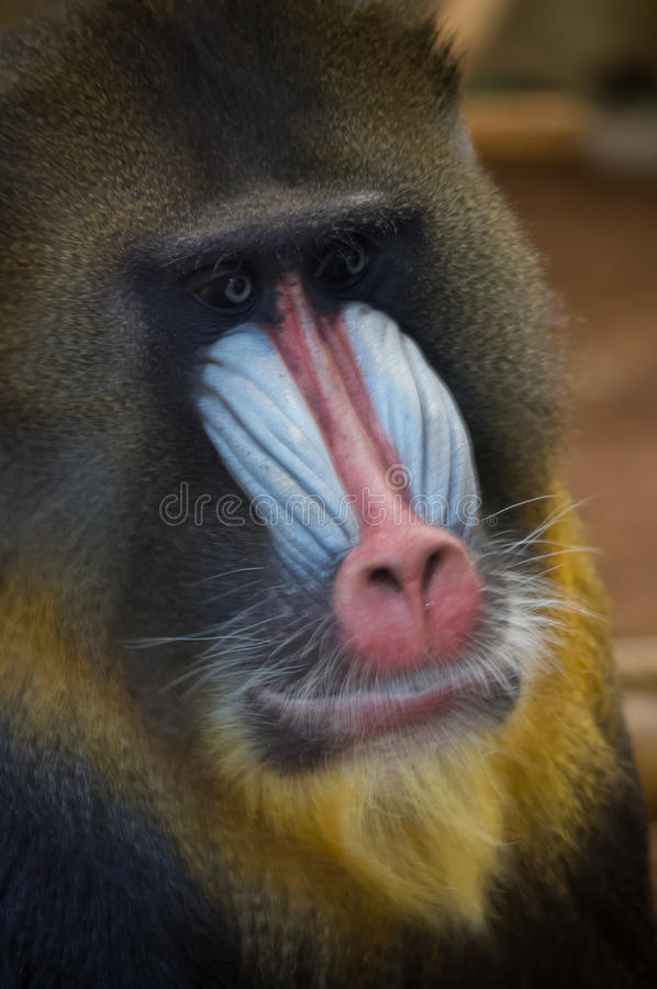 Mandrill Monkey. Close up picture of a colorful mandrill monkey with dreamy eyes stock images