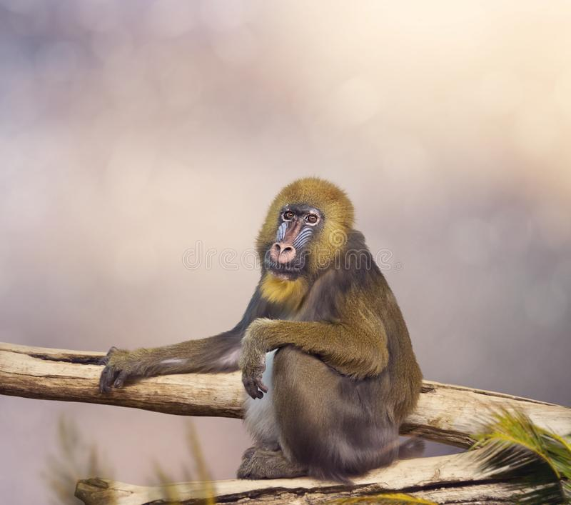 Mandrill monkey portrait. Tropical primate with a colorful face royalty free stock photography