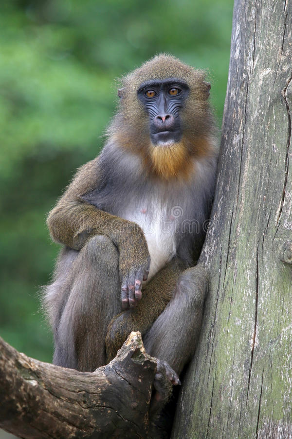 Mandrill. Portrait of a young male mandrill stock image