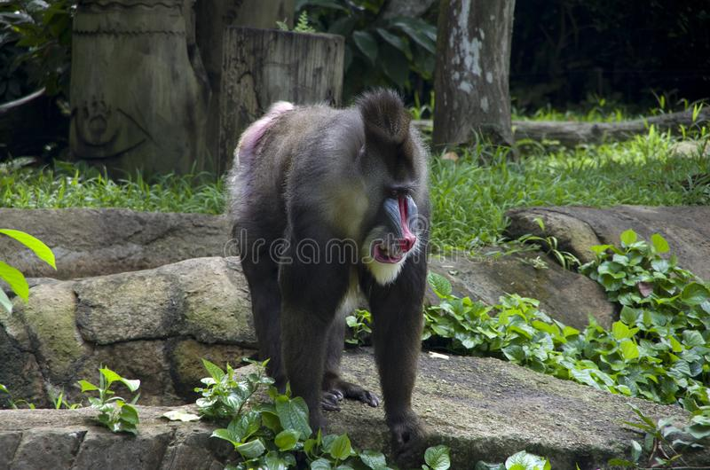 Mandrill monkey in Singapore zoo. The mandrill is a primate of the Old World monkey family. It is one of two species assigned to the genus Mandrillus, along royalty free stock photos