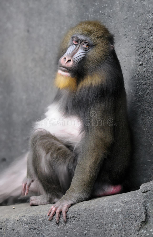 Mandrill Rolls Its Eyes Royalty Free Stock Images