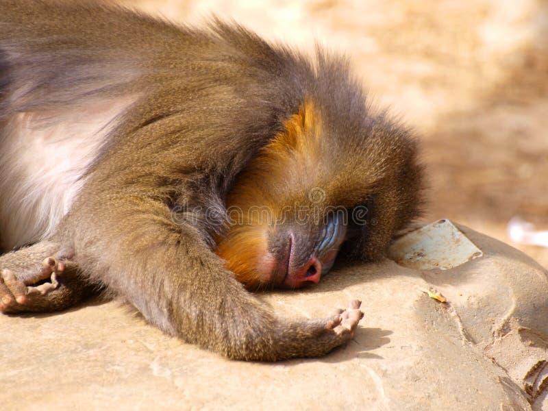 Mandrill schlafend stockfotos