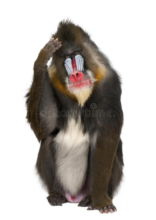 Mandrill scratching head, Mandrillus sphinx royalty free stock image