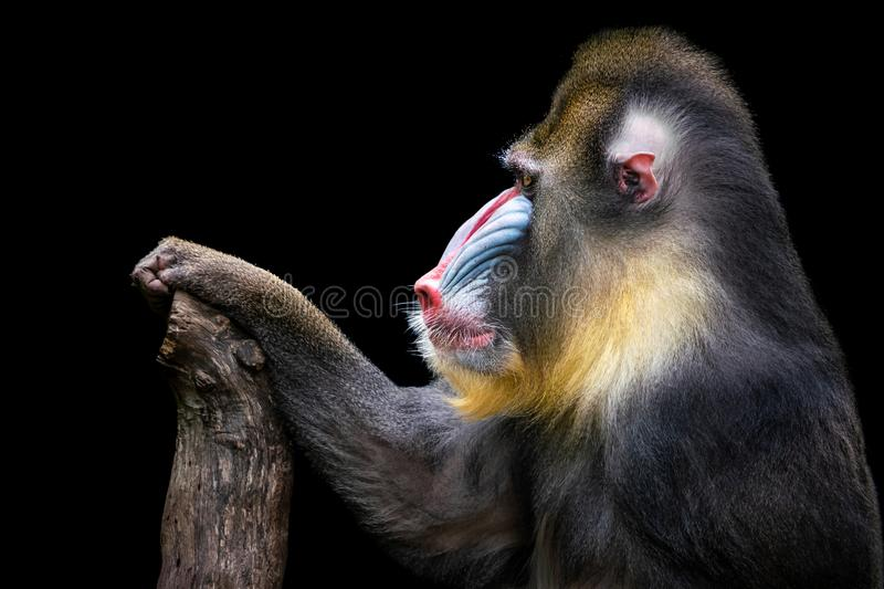 Mandrill XVIII. Profile Portrait of a Backlit Mandrill Against a Black Background stock image