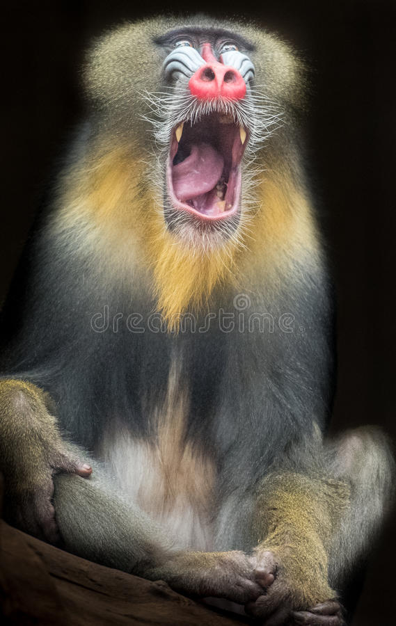 Mandrill. A Mandrill yawning, on a black background royalty free stock photos