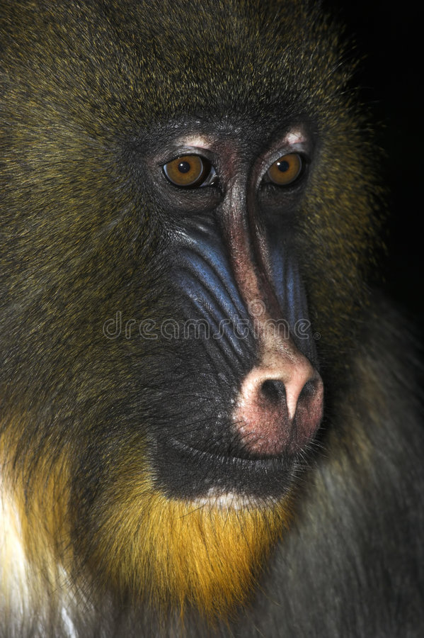 Download Mandrill- Young Alpha Male Royalty Free Stock Image - Image: 1419006