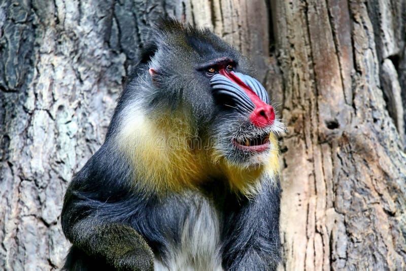 MandrillMandrillussfinx Mandrillar finnas i sydlig Kamerun, Gabon, Ekvatorialguinea och Kongofloden royaltyfria foton
