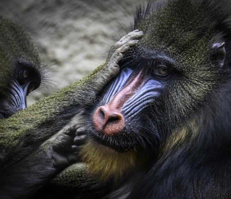 Mandrills grooming. African monkey detail posing on dark background royalty free stock images