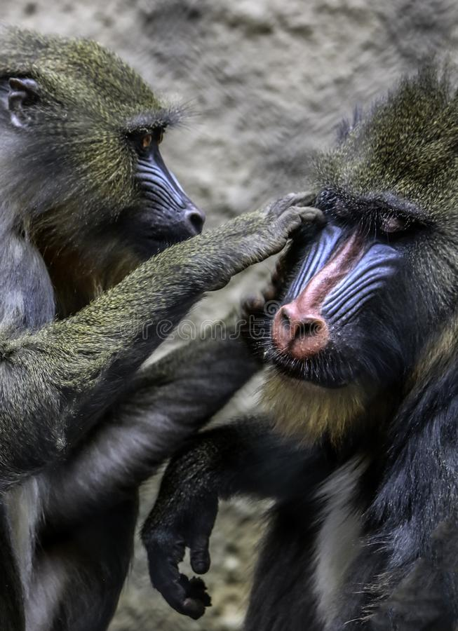 Mandrills grooming. African monkey detail posing on dark background stock photography