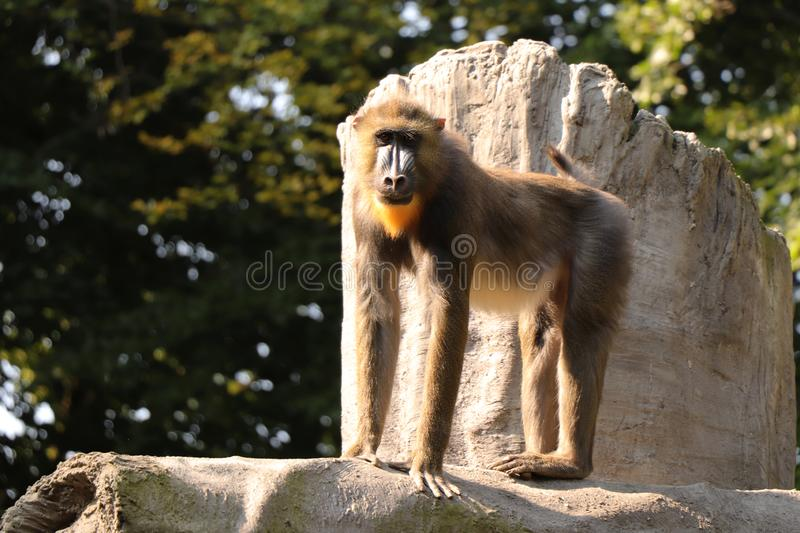 A Mandrillus sphinx standing on top of a rock and looking at camera. He is very noble monkey. Monkey has beautiful colourful face royalty free stock images