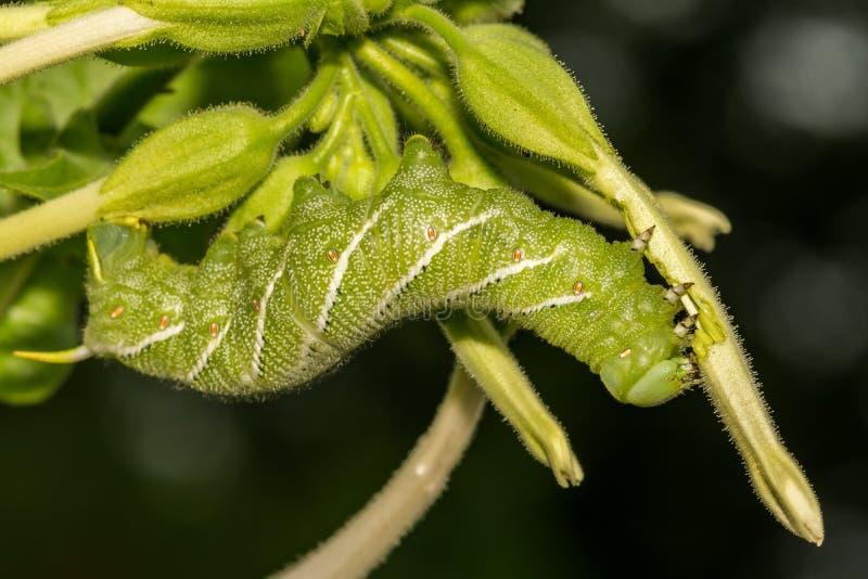 Manduca sexta del hornworm del tabacco immagine stock libera da diritti