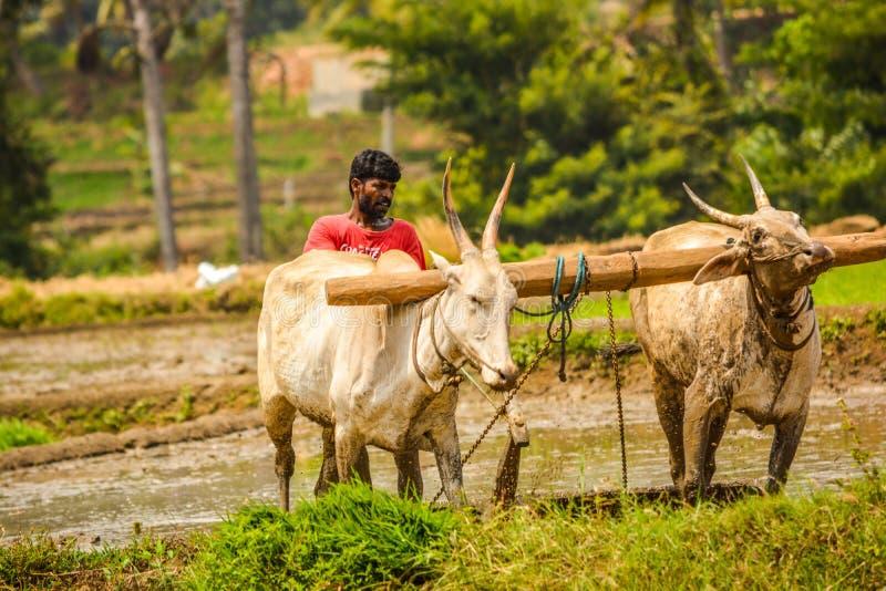 MANDYA, IL KARNATAKA, INDIA - 29,2017 AUGUSTI: Qui aratura dell'agricoltore immagine stock libera da diritti