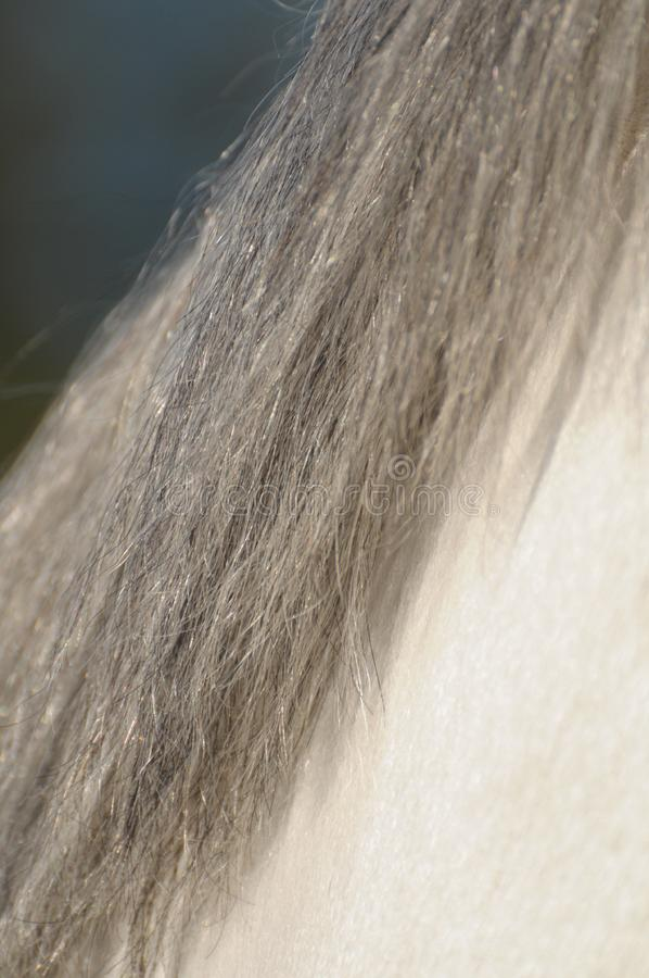 Mane of a gray horse royalty free stock image
