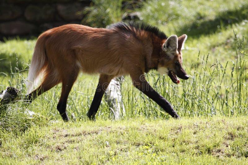 Maned wolf royalty-vrije stock afbeelding