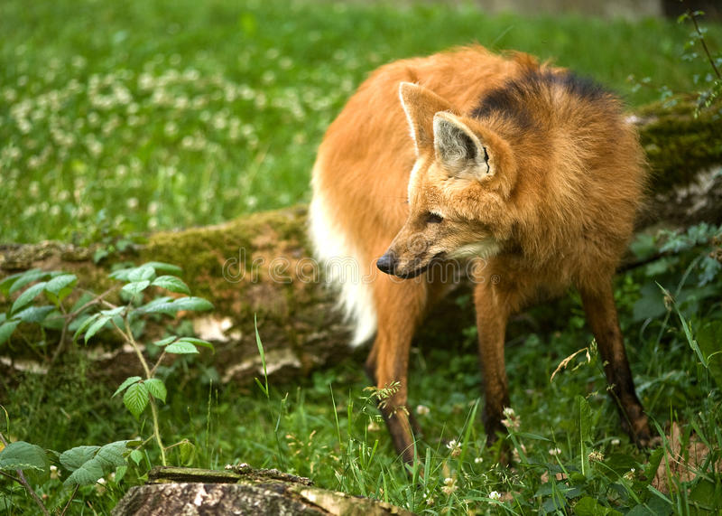 Maned Wolf stockbild