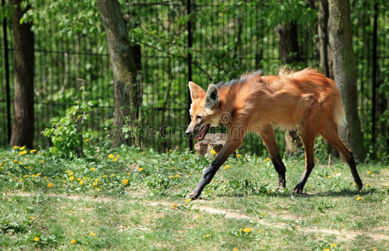 Maned Wolf stockfotos