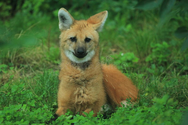 Maned Wolf stockbilder