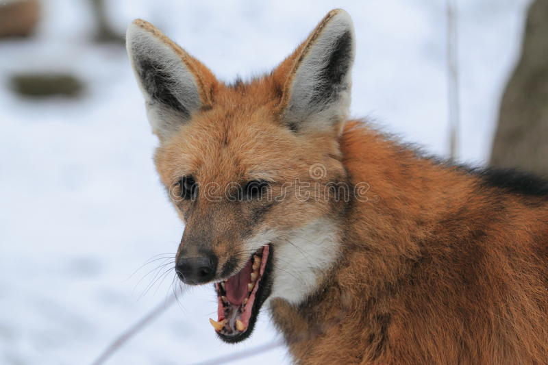 Download Maned wolf stock photo. Image of snow, mammal, detail - 28880356