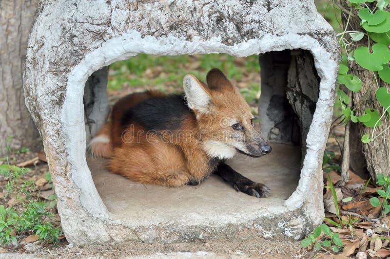 Maned Wolf lizenzfreies stockbild