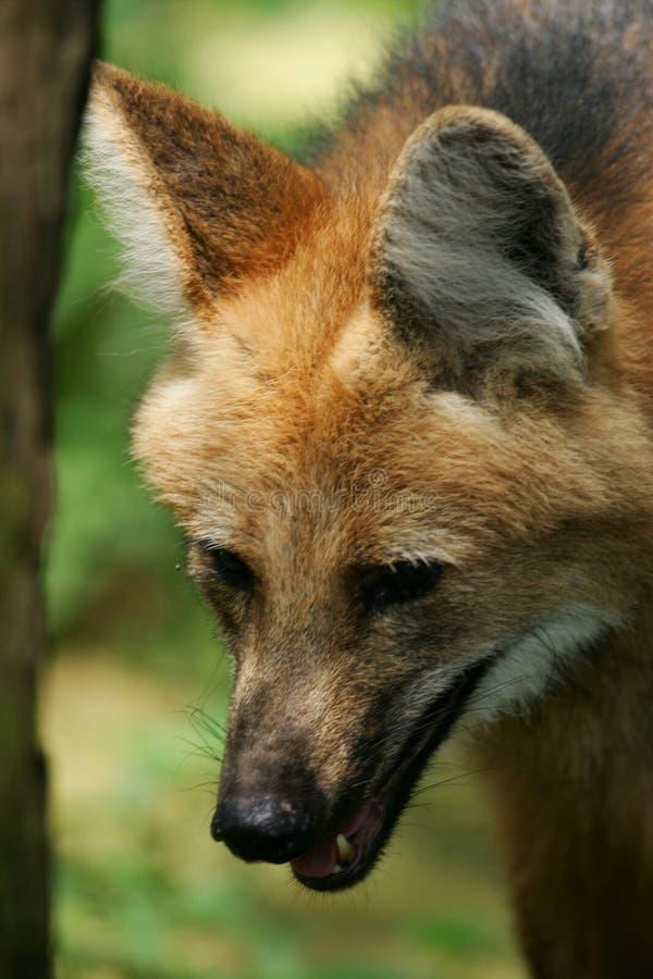 Maned Wolf stock foto's