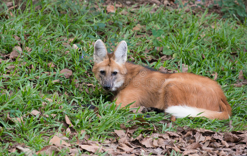 Maned Wolf stockfotografie