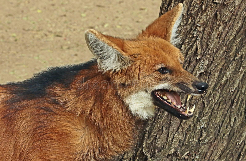 maned wolf royaltyfria bilder
