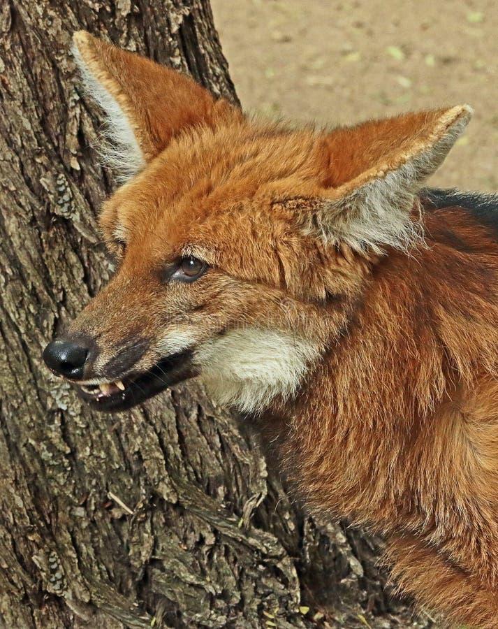 Maned Wolf royalty free stock image