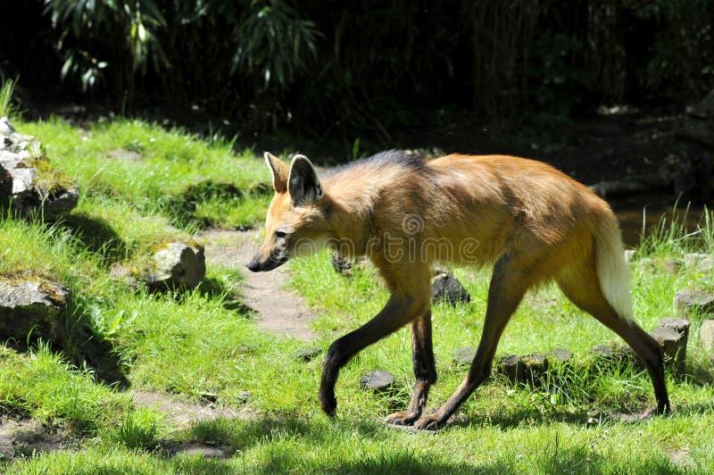 Maned Wolf, der auf Gras geht stockfoto