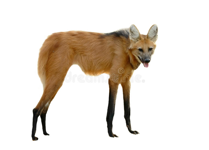 Maned wolf royalty-vrije stock foto