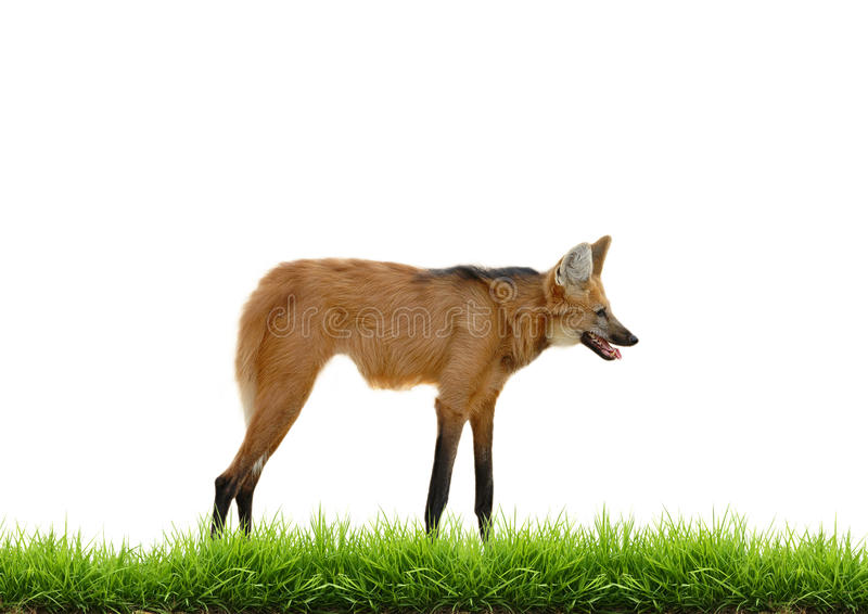 Maned wolf with green grass isolated. On white background stock photos