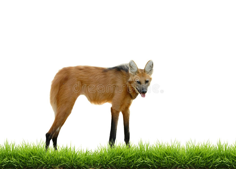 Maned wolf with green grass isolated. On white background stock images