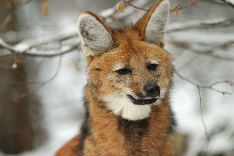 Maned Wolf im Winter lizenzfreie stockbilder