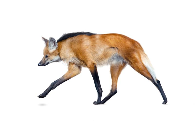 Maned wolf walking isolated. Over a white background royalty free stock image