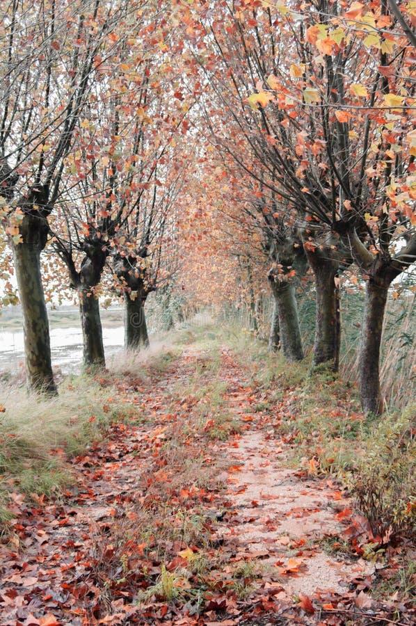 maneira com as árvores no outono com folhas caídas foto de stock
