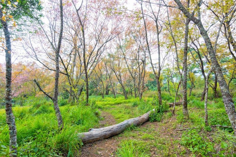 Maneira do passeio à floresta com a árvore no campo de grama imagens de stock royalty free