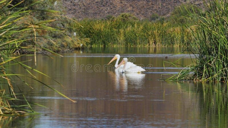 A maneira do pelicano imagem de stock