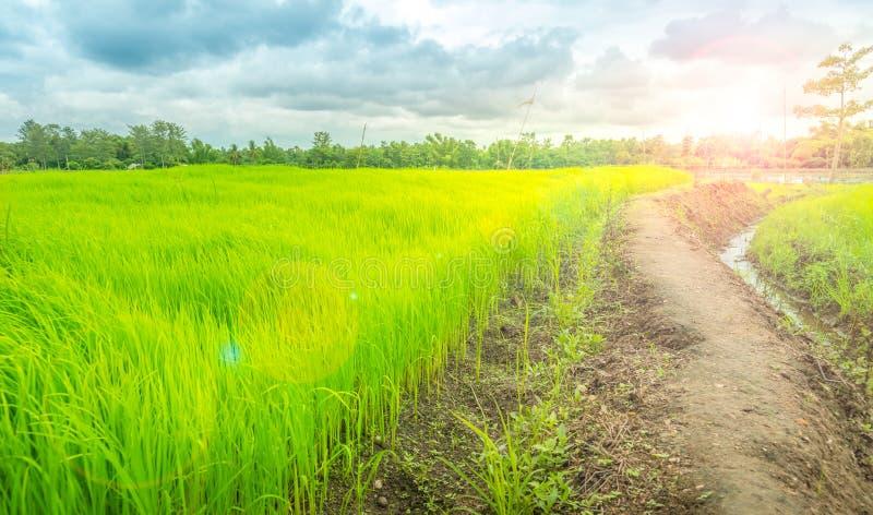 A maneira na exploração agrícola verde, campo de Tailândia foto de stock