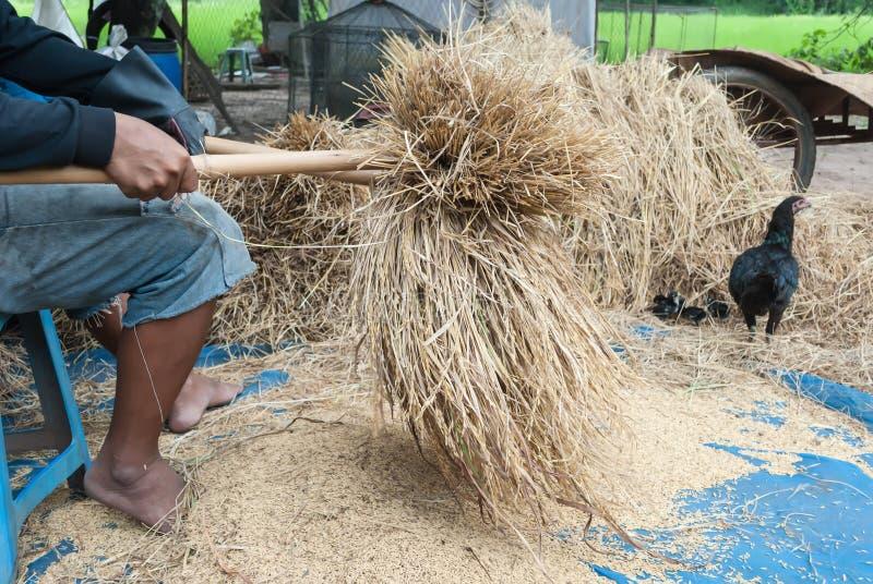 A maneira tradicional de trilhar a grão no nordeste de Tailândia imagens de stock