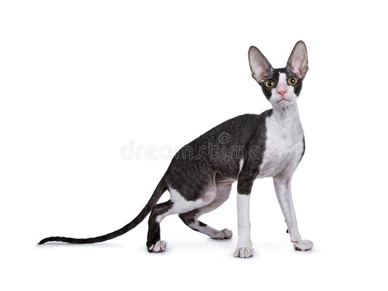 Maneiras laterais eretas córnicos do gato/gatinho de Rex imagens de stock royalty free