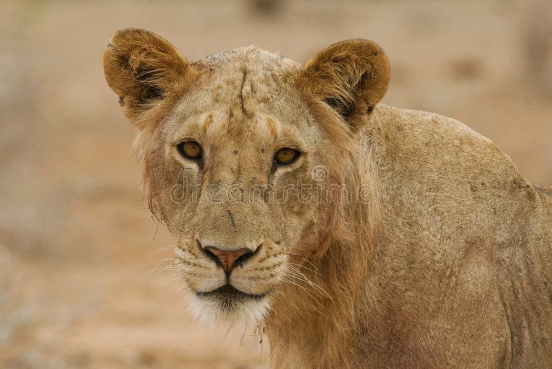 Maneless Löwe stockbild